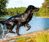 Flat-Coated Retriever Running Up, Out Of The Water Photo By: (C) Nelosa Www.fotosearch.com
