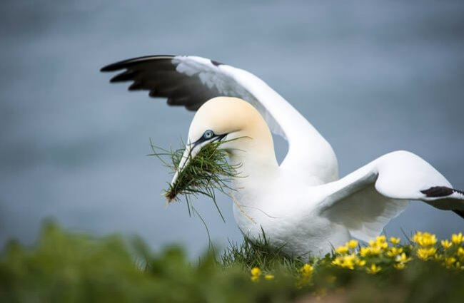 A northern Gannet with nesting material