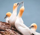 A Pair Of Beautiful Gannets