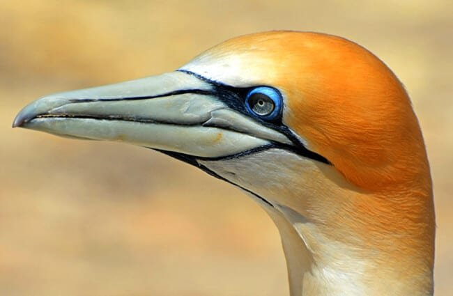 Closeup of a beautiful Gannet - notice the blue around the eye