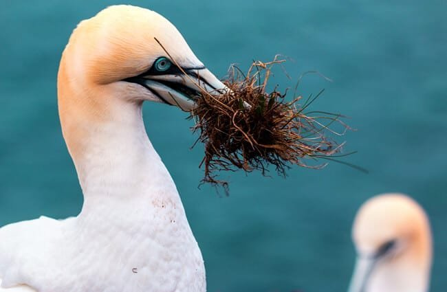 Gannet with a beak-full of nesting material