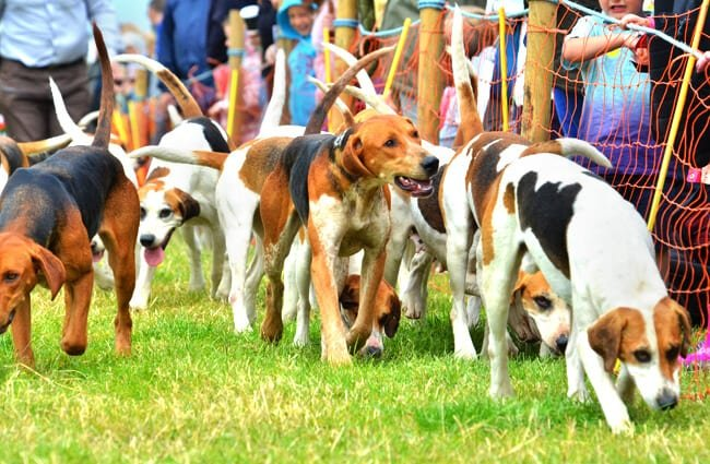 Harrier hounds at the Emley Show Photo by: Tim Hoggarth https://creativecommons.org/licenses/by/2.0/