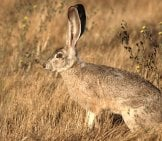 Beautiful Jackrabbit - Notice How His Coloring Blends In With The Grass