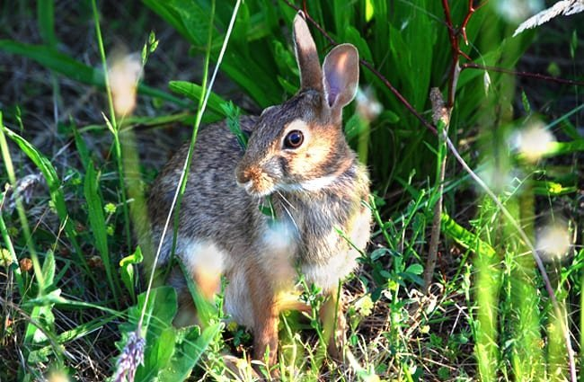Jackrabbit pausing in the grassy undergrowth