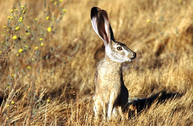 Jackrabbit checking for predators