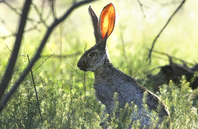 Jackrabbit resting in the shade of a tree