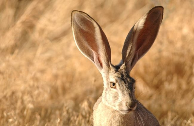 Beautiful Jackrabbit - notice his very long ears!