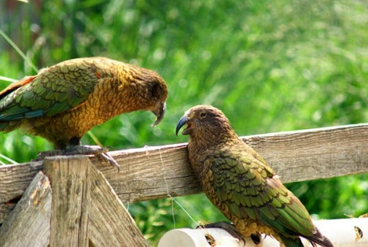 Kea conversations ... these social birds love to chatPhoto by: Maria Hellstrom//creativecommons.org/licenses/by-sa/2.0/