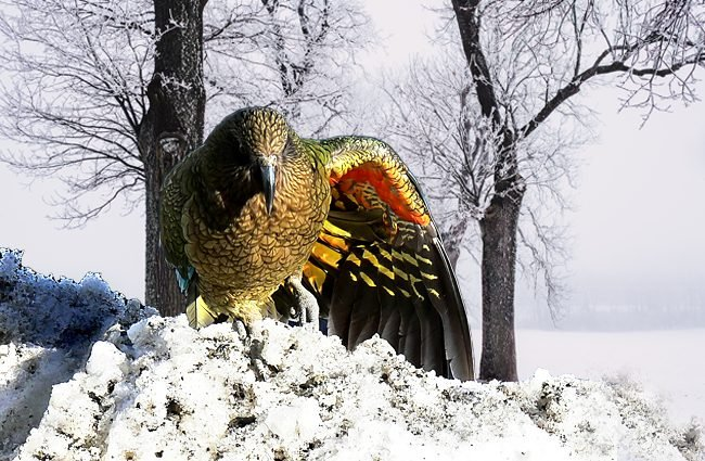 Kea showing off the colorful underside of his wings