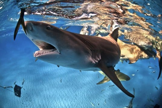 Lemon Shark reaching for a fish, off the coast of the BahamasPhoto by: (c) FAUP www.fotosearch.com