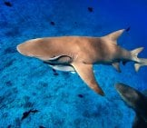 Lemon Shark Swimming Among Fish In Pacific Ocean Photo By: (C) Shalamov Www.fotosearch.com