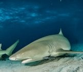 Lemon Shark Skimming The Ocean Floor Photo By: (C) Divepics Www.fotosearch.com