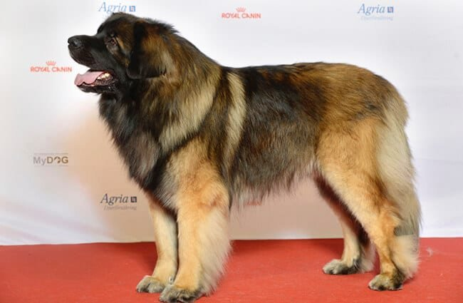 Beautiful Leonberger outside the show ring Photo by: Svenska Mässan https://creativecommons.org/licenses/by/2.0/