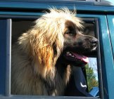 Leonberger Out For A Drive