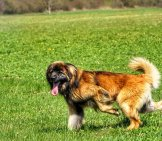Young Leonberger Playing In The Yard