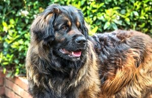 Stunning Leonberger - notice his beautiful colors