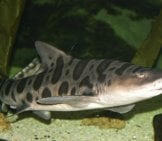 The Leopard Shark Is A Hound Shark Photo By: Brian Gratwicke //creativecommons.org/licenses/by/2.0/