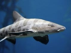 Menacing Leopard Shark at Point Dume, CaliforniaPhoto by: Heal the Bayhttps://creativecommons.org/licenses/by/2.0/