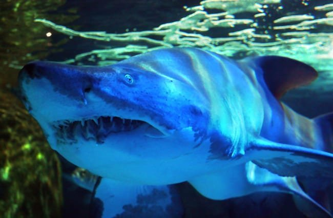 Closeup of a Mako Shark Photo by: Martin Fisch //creativecommons.org/licenses/by-sa/2.0/