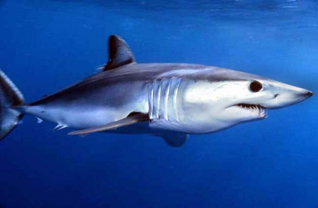 Shortfin Mako Shark off Catalina Island, California Photo by: jidanchaomian //creativecommons.org/licenses/by-sa/2.0/