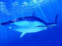 Illustration of a Mako SharkPhoto by: (c) Eraxion www.fotosearch.com