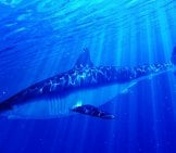 Illustration Of A Mako Shark In Blue Ocean Waters Photo By: (C) Eraxion Www.fotosearch.com