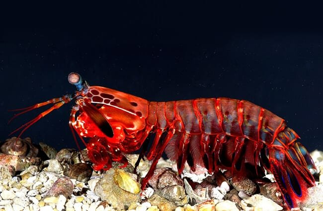 Red Mantis Shrimp