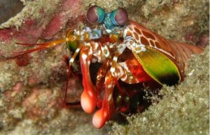 Peacock Mantis Shrimp in the Thailand Andaman SeaPhoto by: Silke Baronhttps://creativecommons.org/licenses/by/2.0/