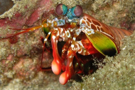 Peacock Mantis Shrimp in the Thailand Andaman SeaPhoto by: Silke Baron//creativecommons.org/licenses/by/2.0/