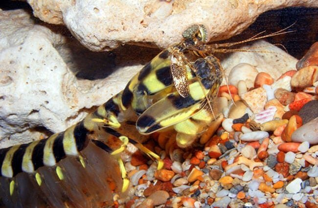 Zebra Mantis Shrimp Photo by: Bill & Mark Bell //creativecommons.org/licenses/by/2.0/