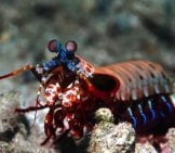 Peacock Mantis Shrimp Photo By: Rickard Zerpe //creativecommons.org/licenses/by/2.0/