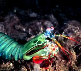 Peacock Mantis Shrimp In Profile Photo By: Tony Shih //creativecommons.org/licenses/by/2.0/