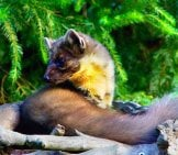 Closeup Of A Marten In The Early Morning Light
