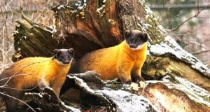 A pair of yellow-throated Marten peeking out of their den