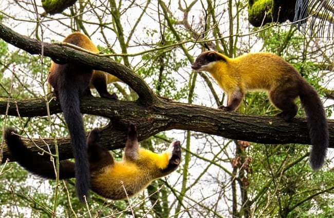 A richness (group) of Martens gathered on a tree