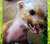 Young Marten Showing Off His Fearsome Teeth!