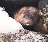 Mink Peeking Out From Its Den