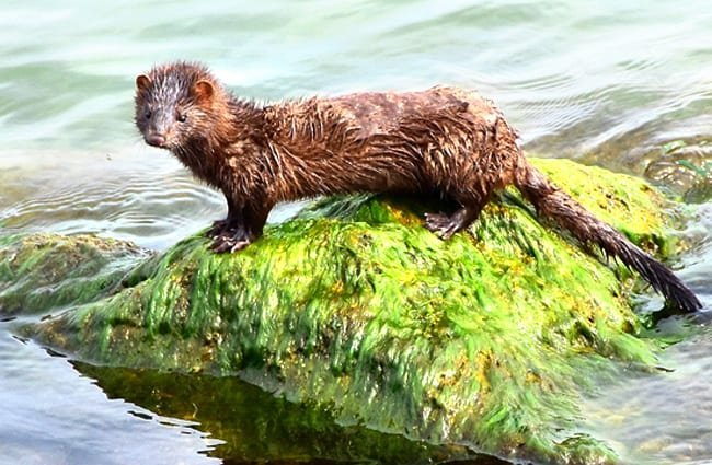 Wet American Mink on a mossy rock