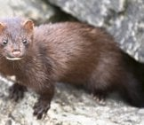 American Mink, Photographed In Centre Island, Toronto Photo By: Tsaiproject Https://creativecommons.org/licenses/by/2.0/