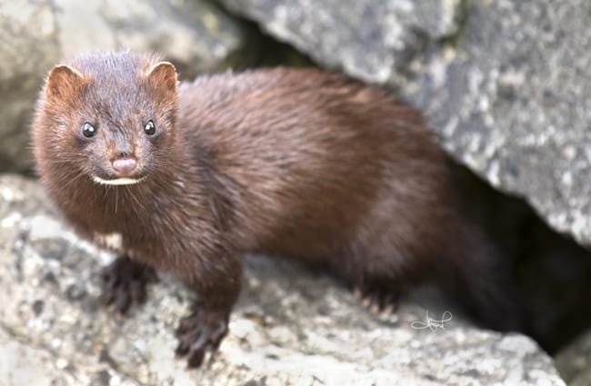 American Mink, photographed in Centre Island, Toronto Photo by: tsaiproject //creativecommons.org/licenses/by/2.0/