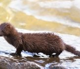 Wet Mink Coming Out Of The Waterphoto By: Tsaiproject //creativecommons.org/licenses/by/2.0/