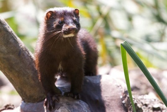 Mink in the parkPhoto by: Matt MacGillivrayhttps://creativecommons.org/licenses/by/2.0/
