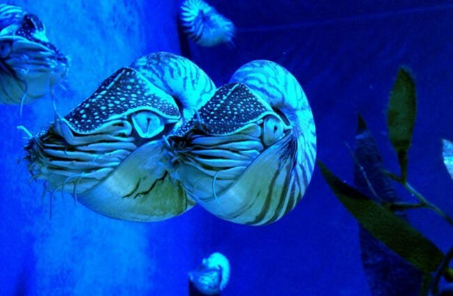 A pair of Nautilus in an aquarium setting