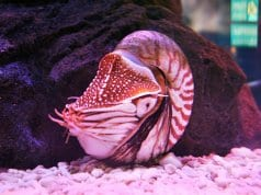 Pink-tinged Nautilus in an aquarium