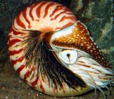 Live Nautilus In The Wild