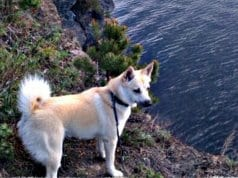 Norwegian Buhund overlooking a beautiful lakePhoto by: Jon-Eric Melsæterhttps://creativecommons.org/licenses/by-nd/2.0/