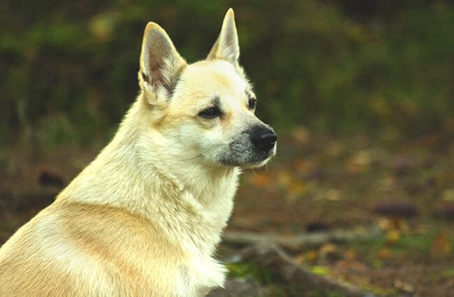 Norwegian Buhund restingPhoto by: Jon-Eric Melsæter https://creativecommons.org/licenses/by-nd/2.0/