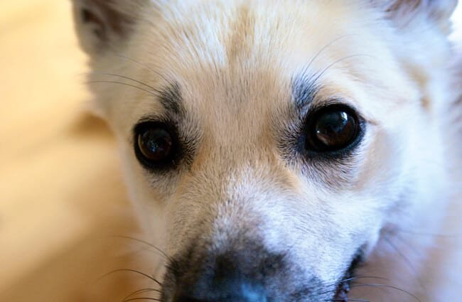 Closeup of a Norwegian Buhund Photo by: Jon-Eric Melsæter https://creativecommons.org/licenses/by-nd/2.0/