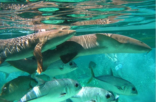 Nurse Sharks swimming with smaller fish Photo by: Captain DJ https://creativecommons.org/licenses/by-nd/2.0/