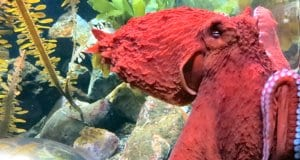 Colorful Pacific Octopus up closePhoto by: Ruth Hartnuphttps://creativecommons.org/licenses/by/2.0/